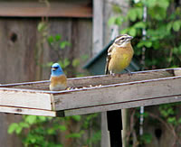 Lazuli Bunting and Black-headed Grosbeak female: Photo by Harry Fuller