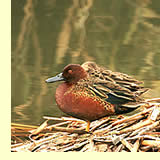 Cinnamon Teal:  photo by May & Godwin Woon