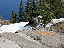 Clark's Nutcracker, Crater Lake.  Photo: Harry Fuller