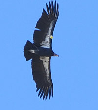 Condor; photo by Harry Fuller