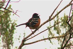 Spotted Towhee singing.  Photo: Harry Fuller