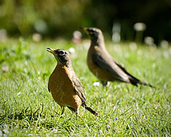 American Robins.  Photo:  Harry Fuller