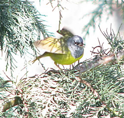 MacGillivray's Warbler, North Mountain Park, Ashland.  Photo: Harry Fuller