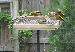 Evening Grosbeaks.  Photo by Harry Fuller.
