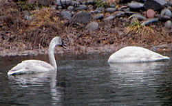 Young Trumpeter Swans.  Photo by Harry Fuller.