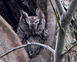 Western Screech-owl.  Photo: Harry Fuller