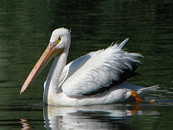 White Pelican.  Photo: Harry Fuller