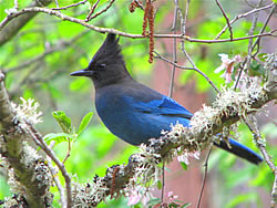Steller's Jay - Photo by Harry Fuller
