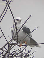White-tailed Kite: Photograph Len Blumin